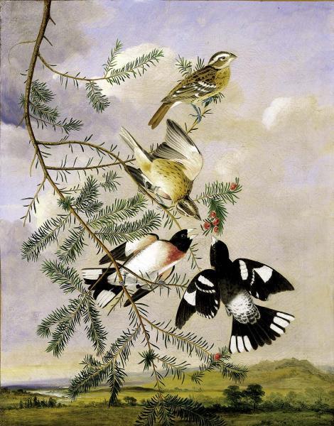 Rose-Breasted Grosbeak, c.1830 - Джон Джеймс Одюбон