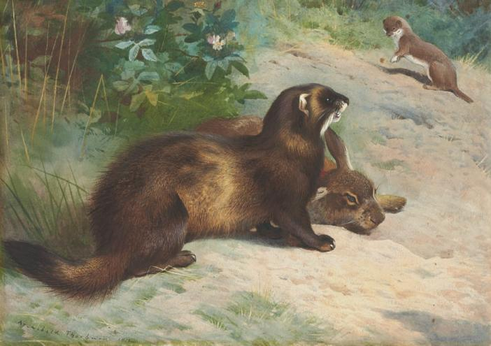 European polecat defending a rabbit carcass from a least weasel, 1920 - Archibald Thorburn
