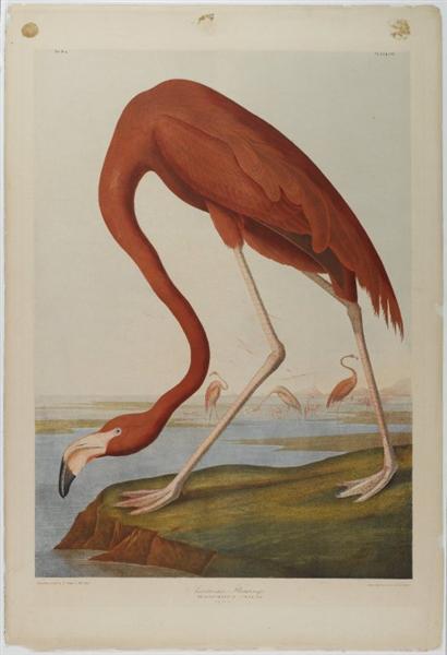 American Flamingo, 1864 - John James Audubon