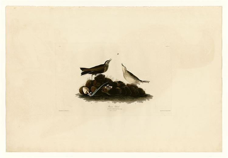Plate 10. Brown Titlark - John James Audubon