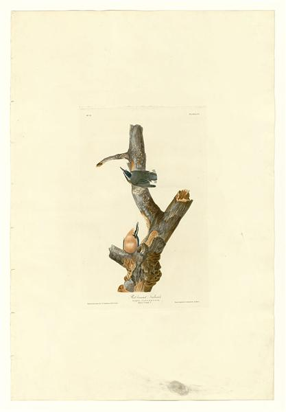 Plate 105 Red-breasted Nuthatch - John James Audubon