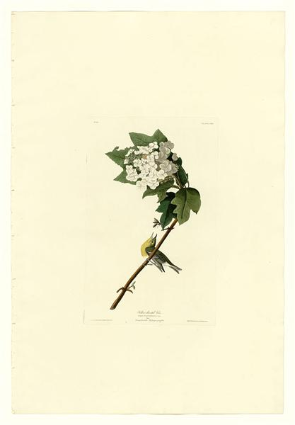 Plate 119 Yellow-throated Vireo - John James Audubon