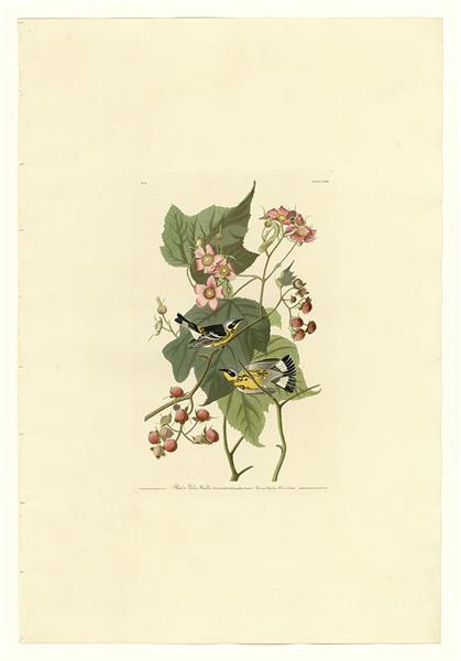 Plate 123 Black & Yellow Warblers - John James Audubon