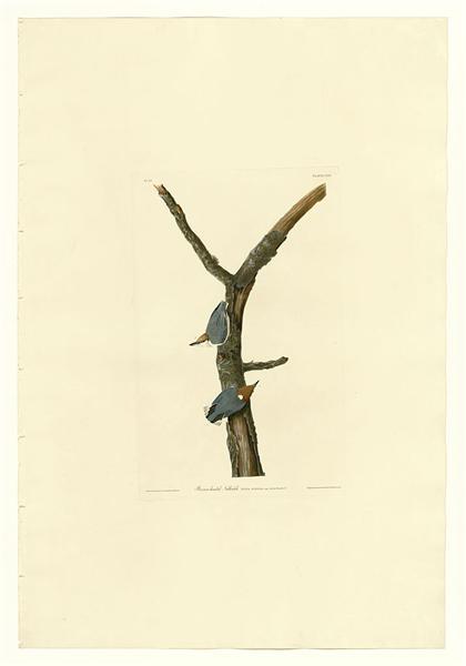 Plate 125 Brown-headed Nuthatch - John James Audubon
