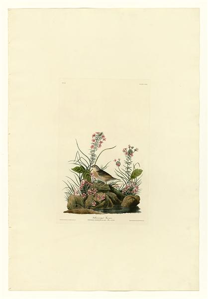 Plate 130 Yellow-winged Sparrow - Джон Джеймс Одюбон