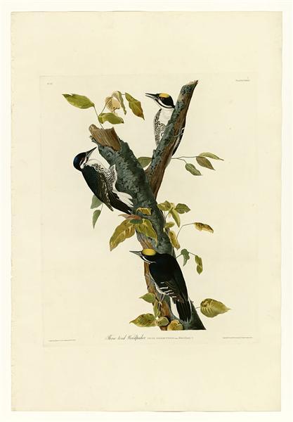 Plate 132 Three-toed Woodpecker - Jean-Jacques Audubon