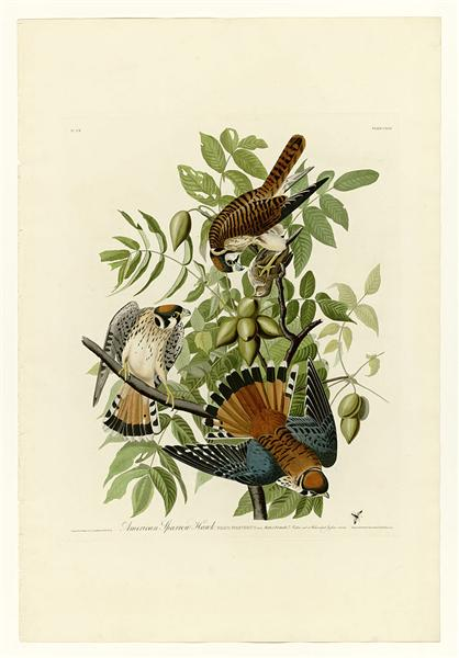 Plate 142 American Sparrow Hawk - John James Audubon