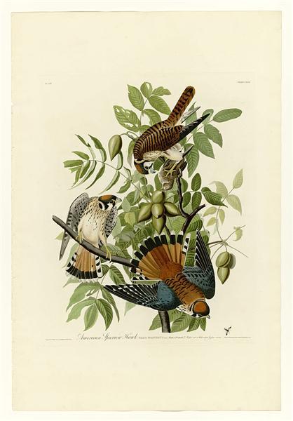 Plate 142 American Sparrow Hawk - Jean-Jacques Audubon