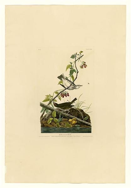 Plate 143 Golden-crowned Thrush - John James Audubon