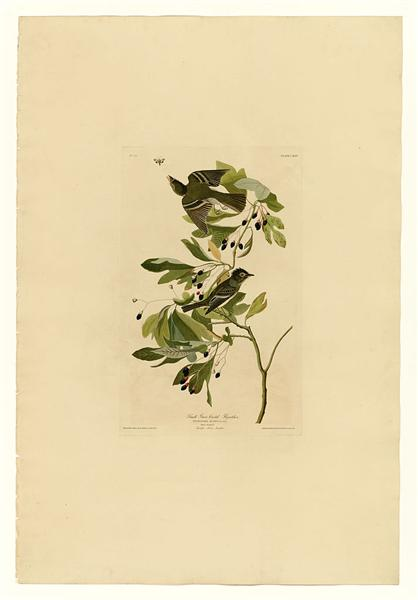 Plate 144 Small Green Crested Flycatcher - John James Audubon
