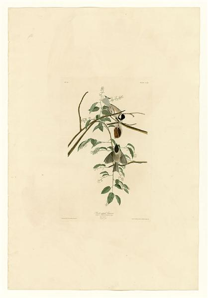 Plate 160 Black-capped Titmouse - John James Audubon