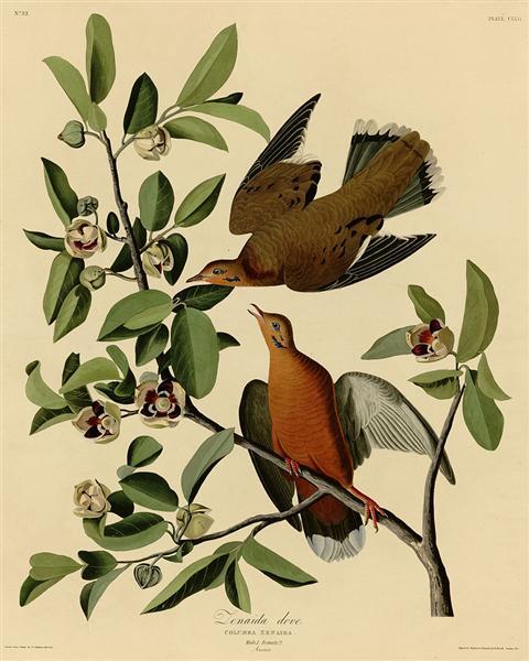 Plate 162 Zenaida Dove - John James Audubon
