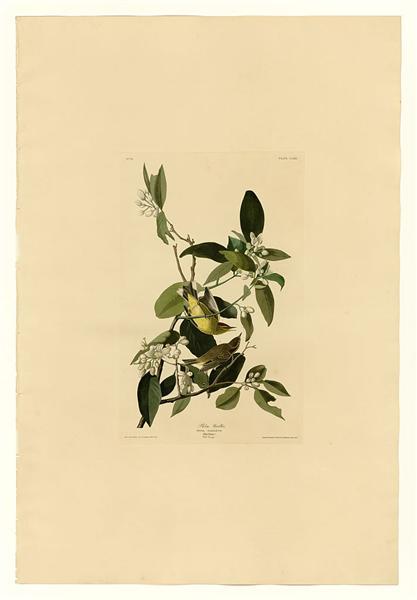 Plate 163 Palm Warbler - John James Audubon
