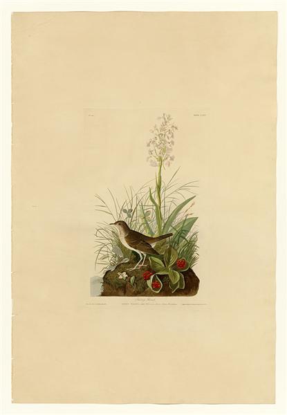 Plate 164 Tawny Thrush - John James Audubon