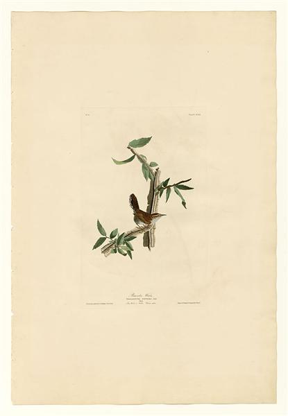 Plate 18. Bewick's Wren - John James Audubon