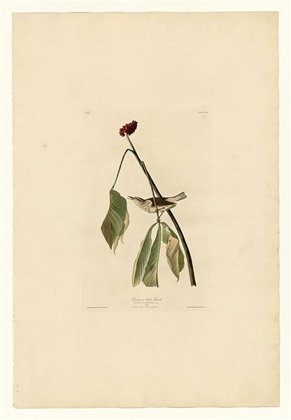 Plate 19. Louisiana Water Thrush - John James Audubon