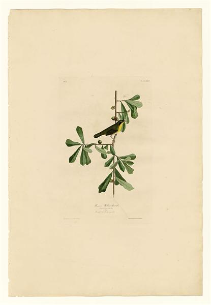 Plate 24. Roscoe's Yellow-throat - John James Audubon