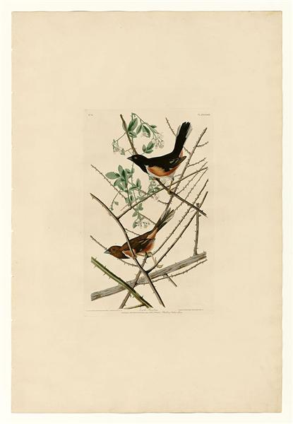 Plate 29. Towhe Bunting - John James Audubon