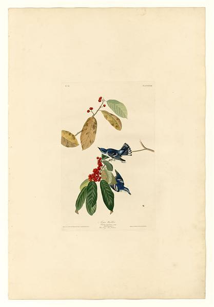 Plate 48. Azure Warbler - John James Audubon