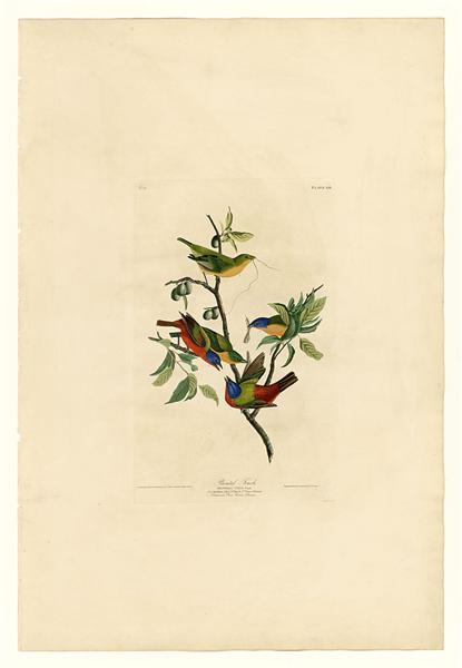 Plate 53. Painted Finch - Jean-Jacques Audubon