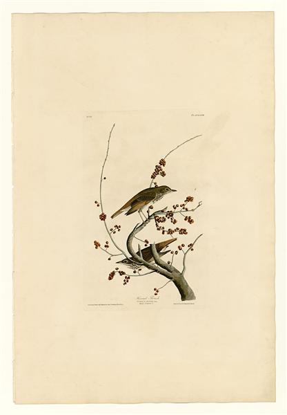 Plate 58.Hermit Thrush - John James Audubon