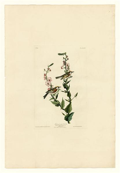 Plate 59. Chestnut-sided Warbler - John James Audubon