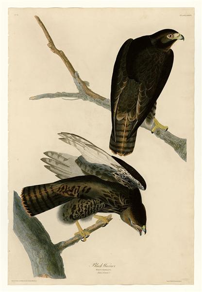 Plate 86 Black Warrior - John James Audubon