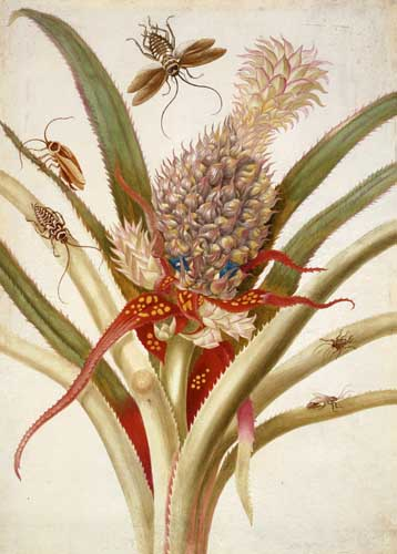 Pineapple and cockroaches, 1705 - Maria Sibylla Merian