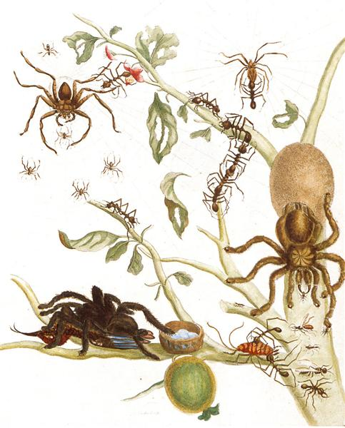 Spiders, ants and hummingbird on a branch of a guava, 1705 - Maria Sibylla Merian