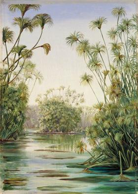 Papyrus or Paper Reed Growing in the Ciane, Sicily - Marianne North