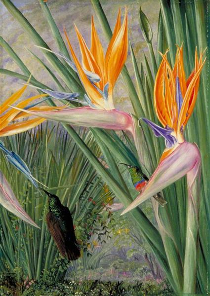 Strelitzia and Sugar Birds, South Africa, 1882 - Marianne North